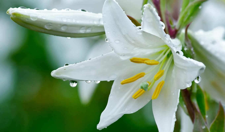 лилия, белая, цветок, капельки, росы,