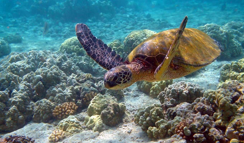 кораллы, kingfish, черепаха, фотообои,