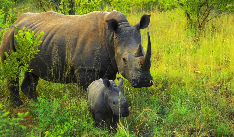 носороги, африка, носорог,