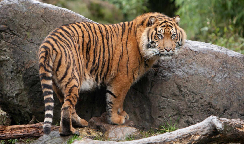 тигр, стоя, кот, wild, rock, photos, free,