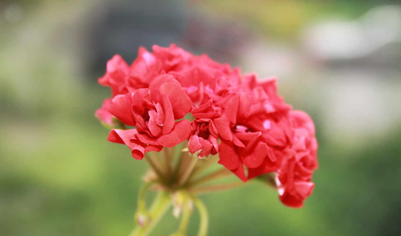 красный, цветок, макро, картинка, картинку,