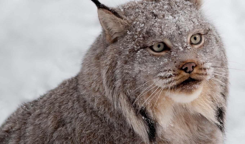 снег, хищник, рысь, взгляд, животные,