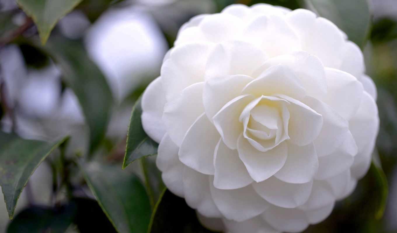 цветы, камелия, different, камелии, petals,  белая, цветок, лепестки,