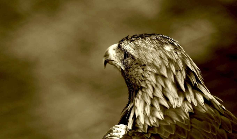орлан, хищник, птица, птицы, небольшое, орлы,