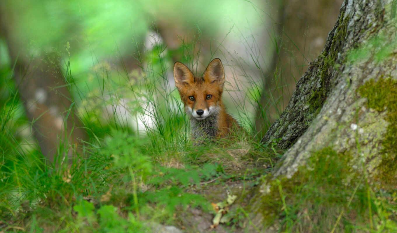 лес, весна, природа, фокс, animal, трава