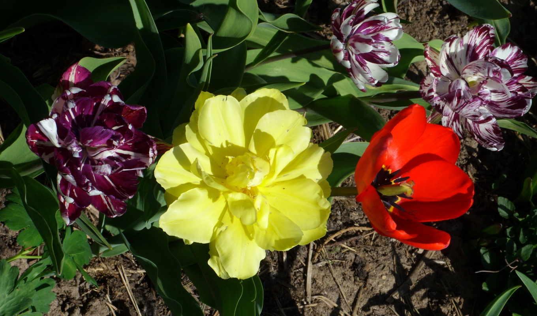тюльпаны, цветы, tulips, flowers, desktop, много, бутон, фото, букеты,