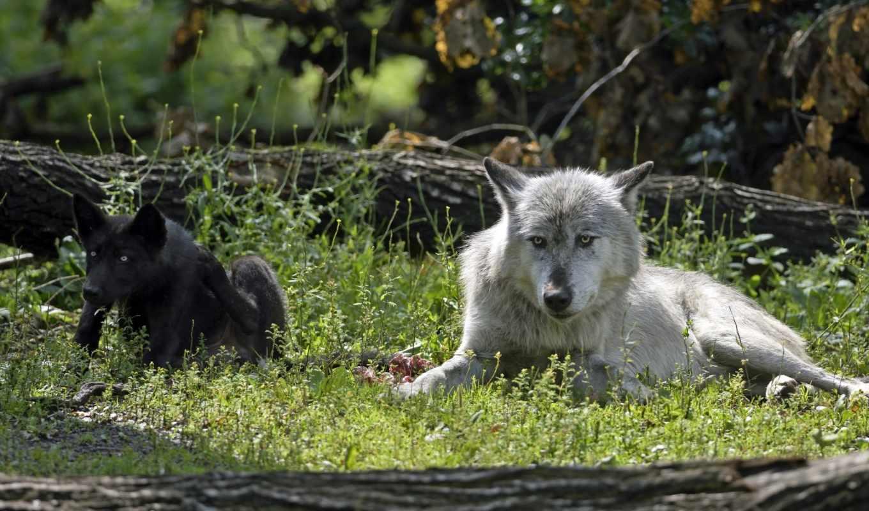 волки, zhivotnye, этом, хищники, морда, волк, pair,