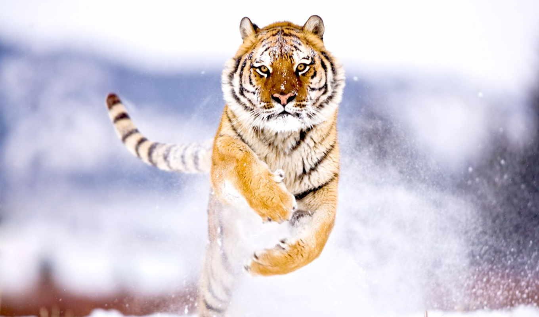 zhivotnye, тигр, прыжок, amur, пелин,