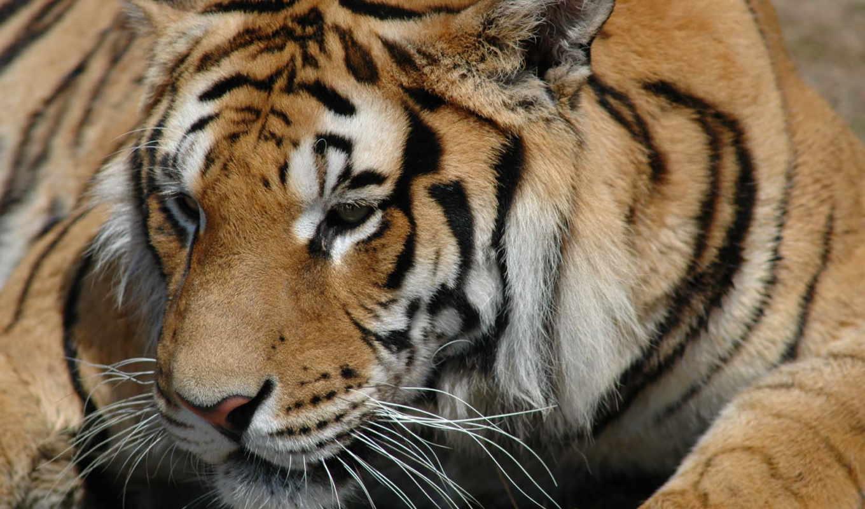 обои, тигр, tiger, wallpapers, wallpaper, free, de