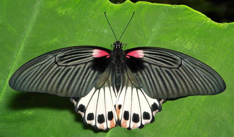 парусник, животные, лист, бабочка, макро, категории, бесплатные, зелёный, телефон, можно,