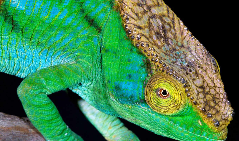 images, chameleon, zhivotnye, parsons, chameleons, заставки, color, хамелеоны, this,