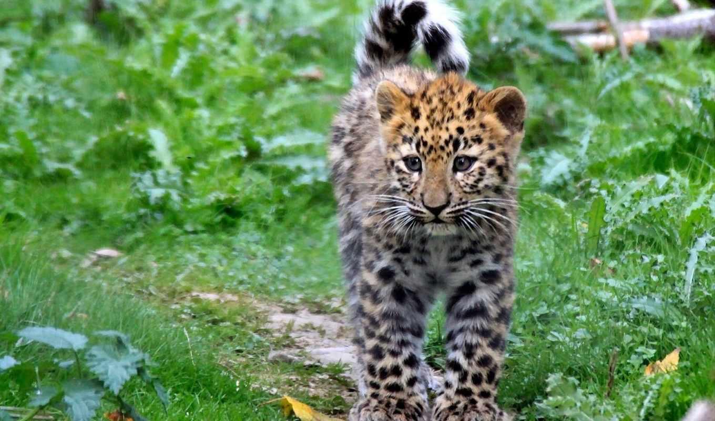 леопард, пятна, июл, котенок, леопарды, котята, animals, cu, baby,