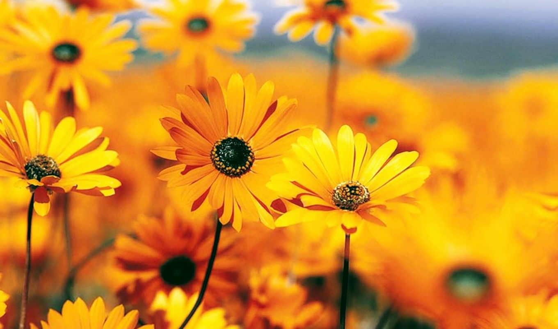,цветы, оранжевый, лето,поляна,