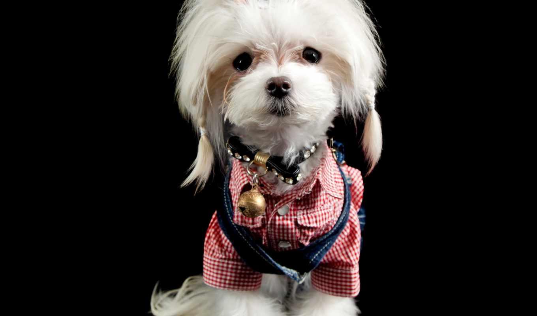 бультерьер, maltese, stock, собака, йоркширский, maltes, изображение, free, royalty, photos, порода,