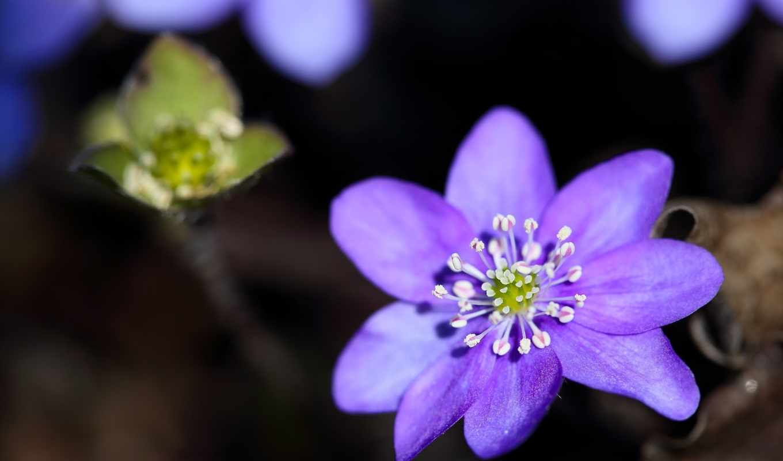 лепестки, цветок, макро, природа, размытость, лето, картинка,