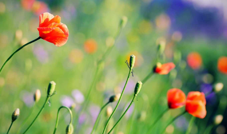summer, цветы, маки, поляна, поле,