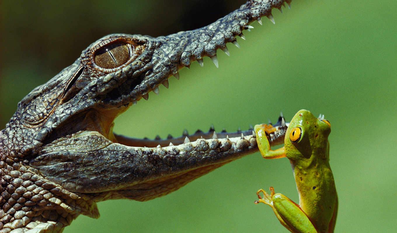 крокодил, лягушку, крокодилов, нил,