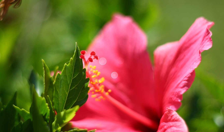 цветы, garden, февр, розовая, lily, flowers,