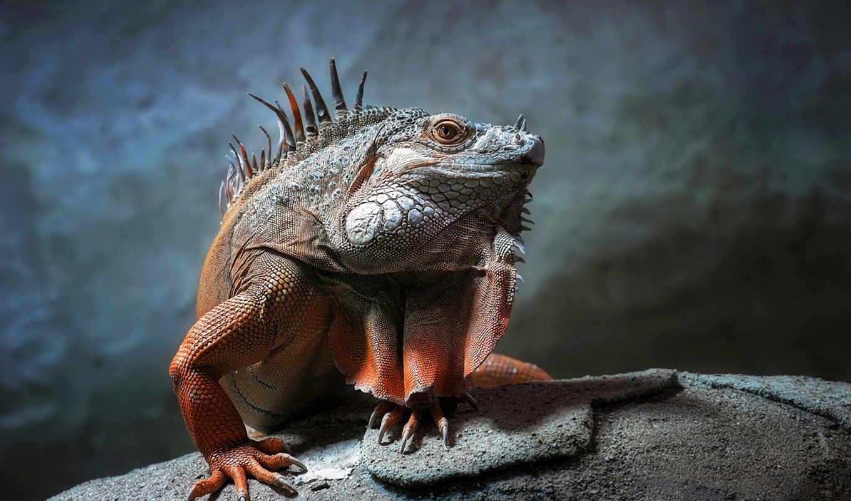 ящер, iguana, этом, лапы, игуаны, reptile, пытаются, отлично, лазальщик, способна, пасть,