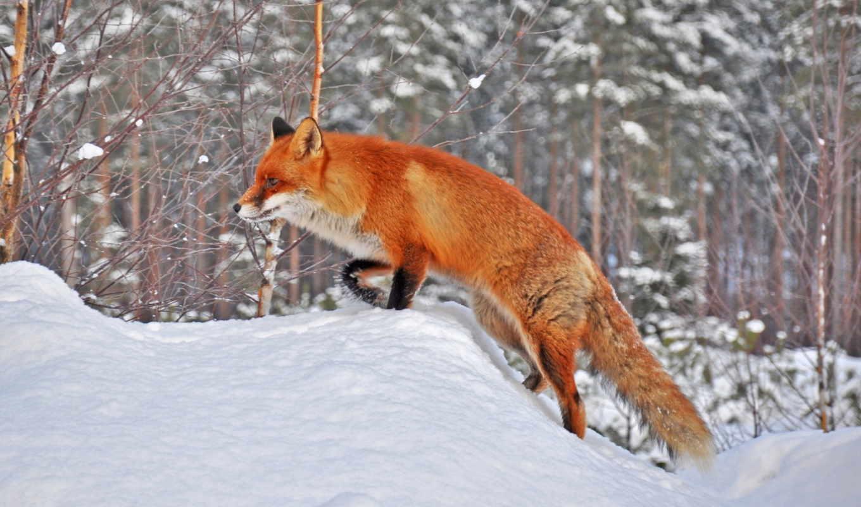 лисы, зима, лиса, снег, животные, лес, игры,