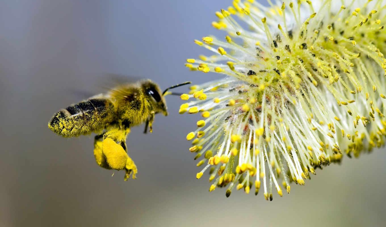 bee, цветок, опыление, honey, desktop, смотрите, free,