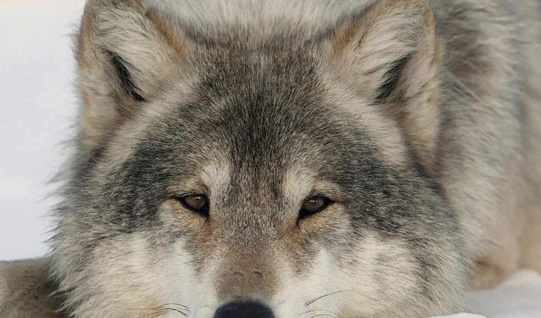 волки, волков, фотографий, аву,