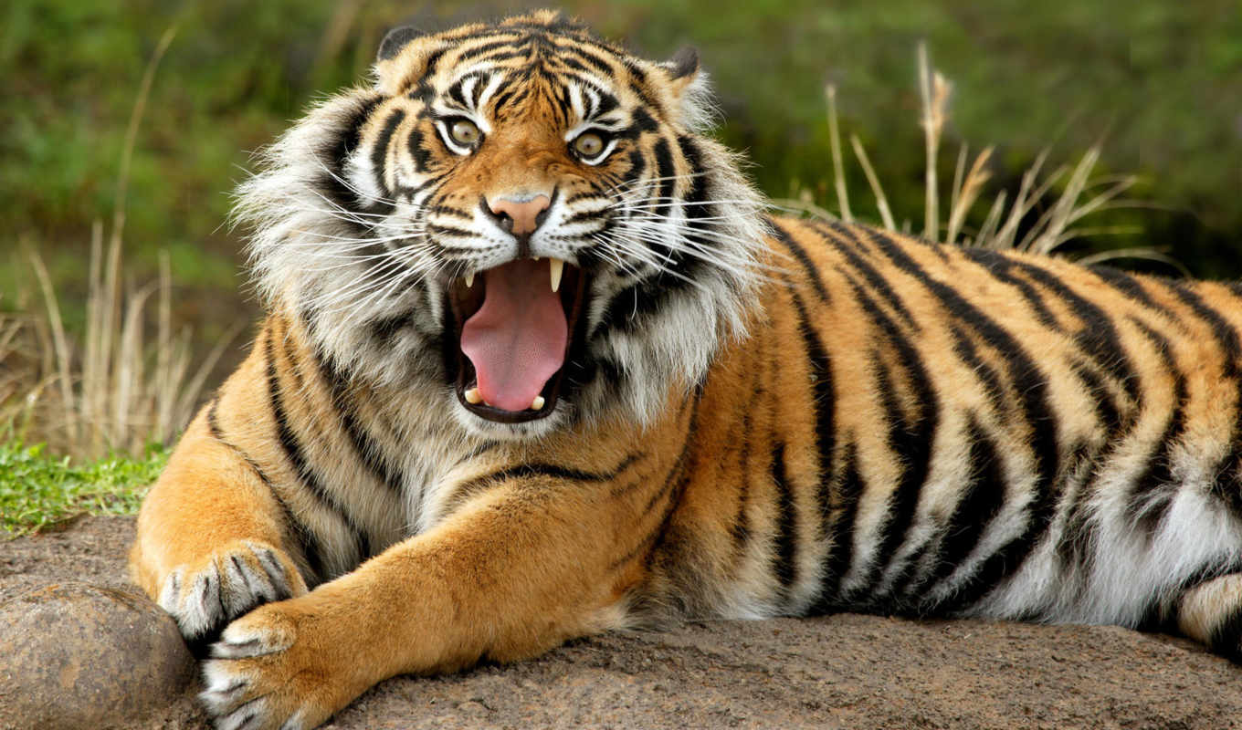 zoo, animals, point, тигр, defiance, tigers, pictures, see, аквариум, were,