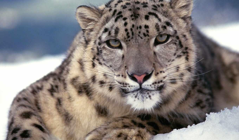 барс, снежный, обои, фото, ирбис, кошки, снежного,