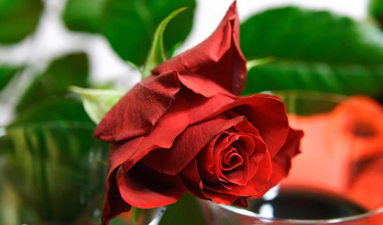 роза, цветок, красная, free, desktop, download, roses, картинка, картинку, flowers, jpeg, abstract, this,