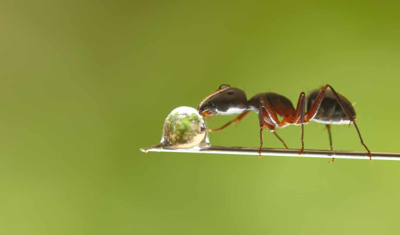 муравей, роса, капля, травинка,