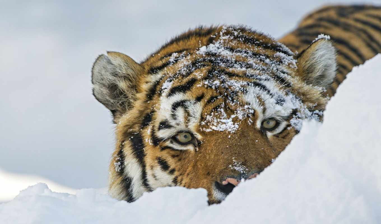 тигр, кот, морда, дикая, смотреть, снегу, снег, тигры,