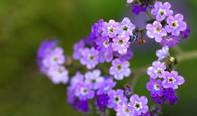 цветы, макро, размытость, сиреневые, лепестки, широкоформатные,