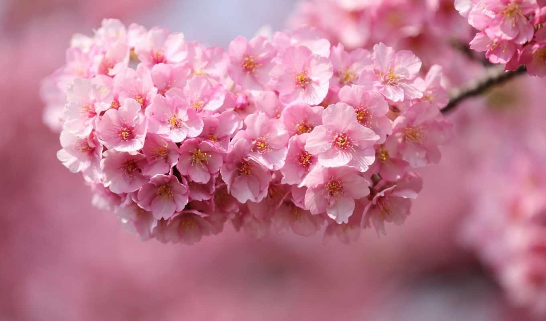 Сакура, дерево, вишня, cvety, японія, веточка, ветки,