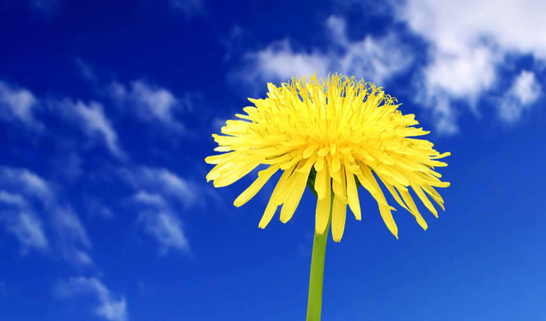 широкоформатные, цветы, красивые, небо, одуванчик, бесплатные, трава, summer,