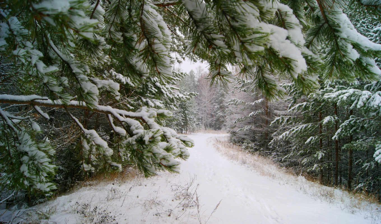 ,, снег, зимний, дерево, экосистема, холодный, лесной, пихта, pine family, нарядный, лес,  сосна, cloud forest, temperate coniferous forest,