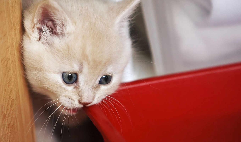 котенка, кошек, породы, может, кошки, очен, кота,