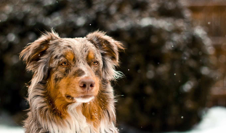 овчарка, собаки, животные, австралийская, взгляд,