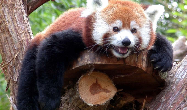 панда, красная, дерево, ложь, branch, взгляд,