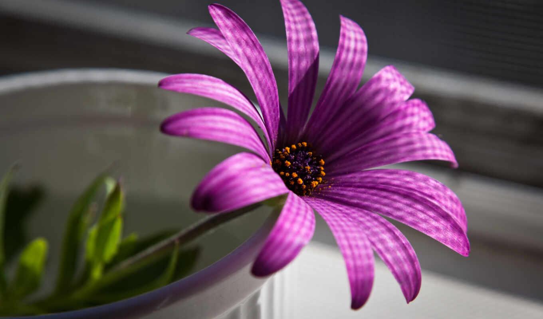 цветы, нежный, сиреневый, цветами, питомник, галантус, оформление, композиция,