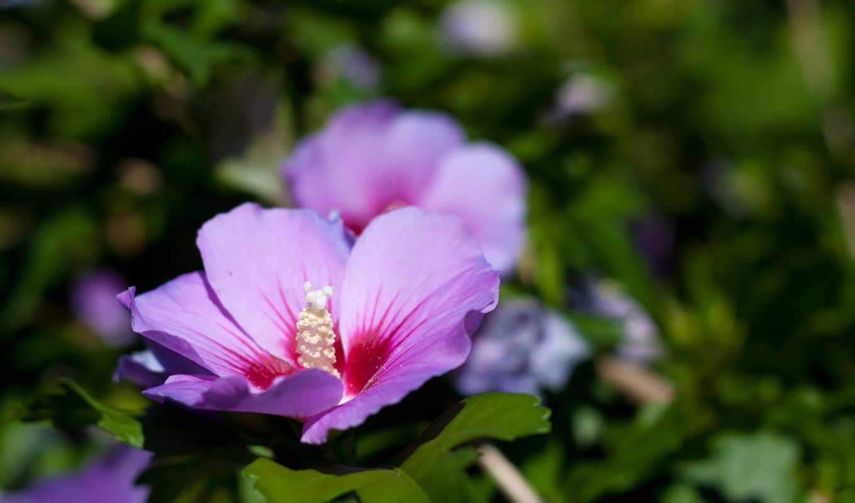 cvety, сиреневого, цветов, травка, фиалки, цветы, коричневого, розовый, лепестки, дикие,
