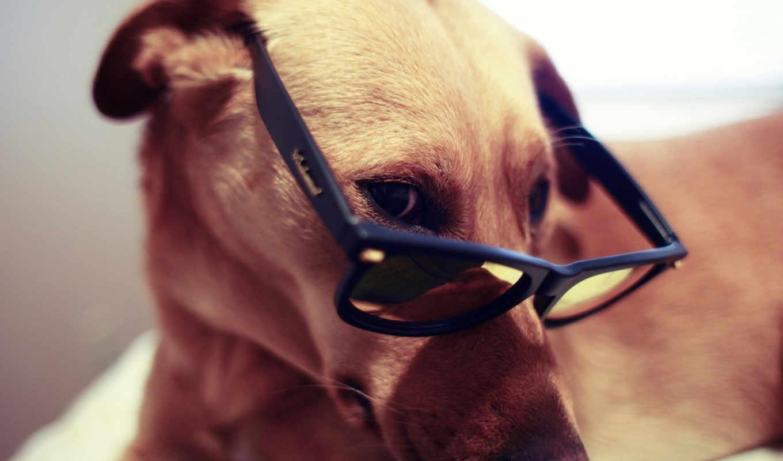 собака, очках, очки, собаки, роза, друг, собака, крутой, cvety,