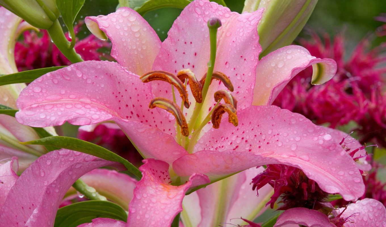 lily, цветы, природа, лепестки, розовая, нежность, розовый,