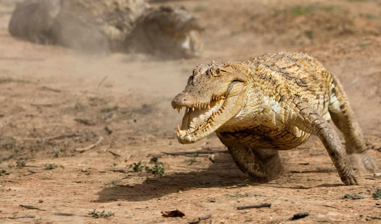 крокодила, аллигатор, за, февр, крокодилы,