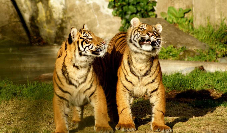 тигры, тигр, тигрята, тигра,