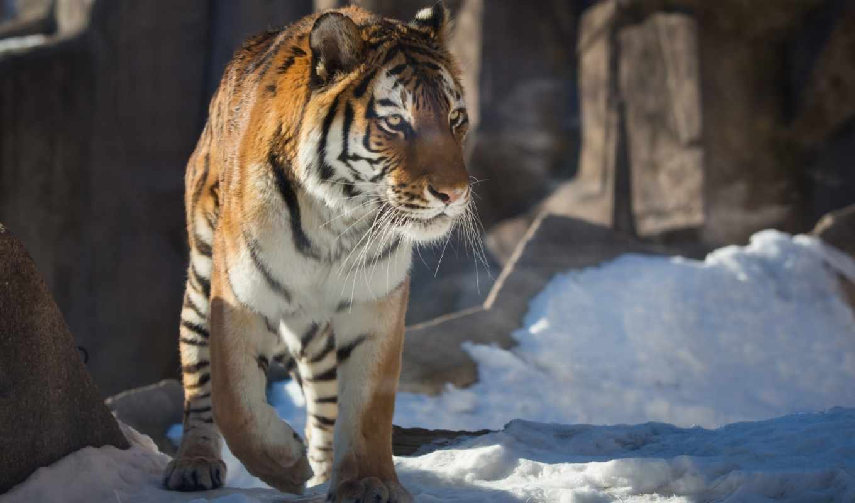 тигр, кот, снег, хищник, медведь, злой, zhivotnye, dachshund, winter,