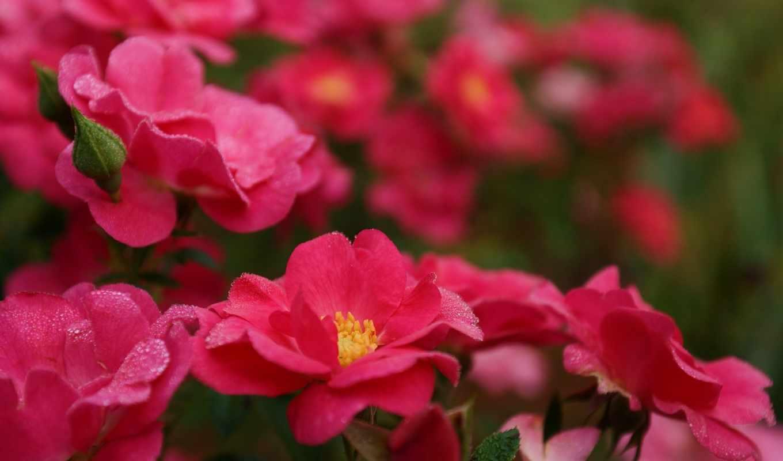 розы, розовые, лепестки, цветы, капли, роса, яркие, куст,