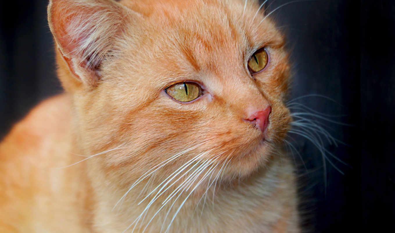 рыжий, взгляд, кошки, кот, глаза, мордочка,