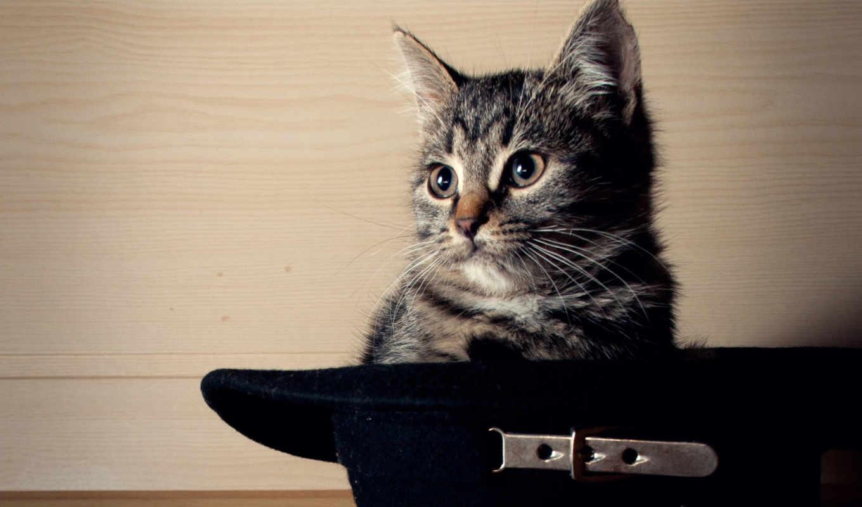 кот, шляпе, котенок,
