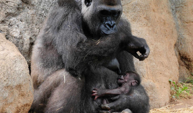 горилла, обезьяна, high, animal, images, desktop,