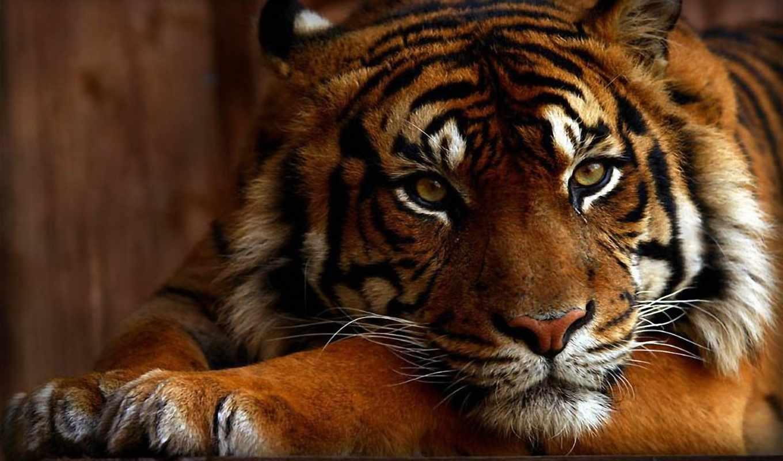 обои, играть, тигр, красавец, взгляд, тигры, полос